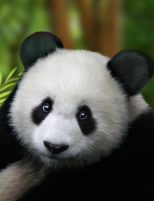 Giant Panda Print by Julie L Hoddinott