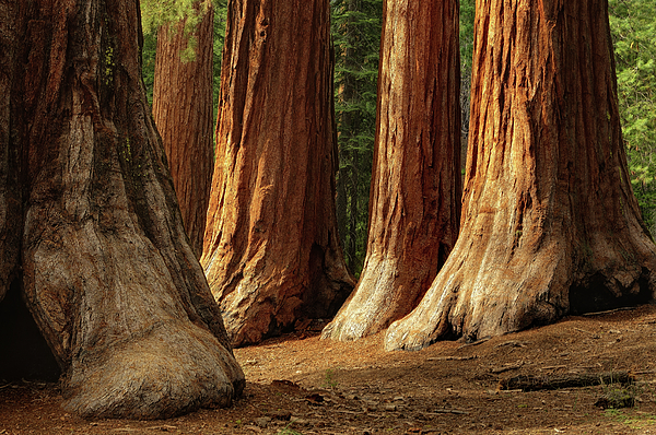 Giant Sequoias, Yosemite National Park Print by Andrew C Mace