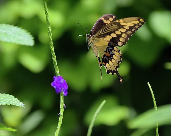 Purple swallowtail butterfly