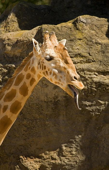 Giraffe Raspberry Print by Mike  Dawson