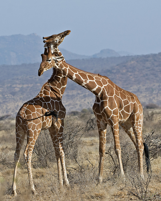 Giraffes In Love Giraffes In Love