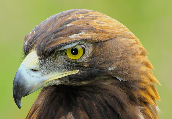 Golden Eagle Print by Shane Bechler
