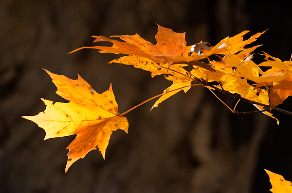 Golden Maple Arch Print by Ross Powell