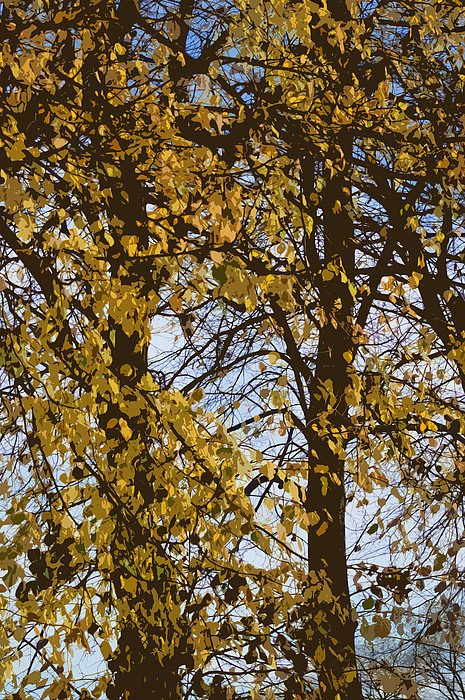 Golden Tree 2 Print by Carol Lynch