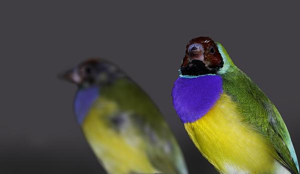 Mr Bennett Kent - Gouldian or Rainbow Finch