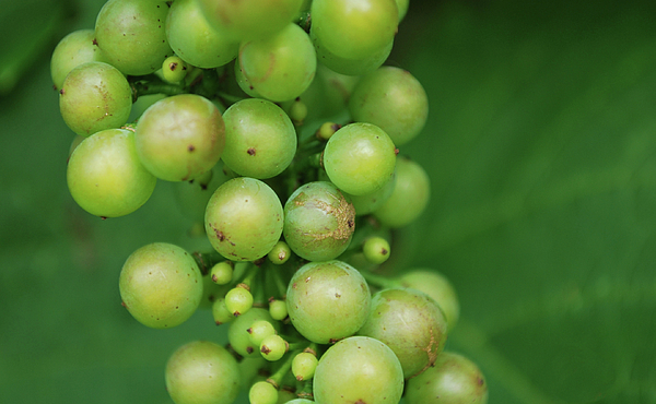 Grapes Print by Steven Silverwood