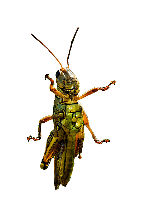 Grasshopper II Print by Gary Adkins