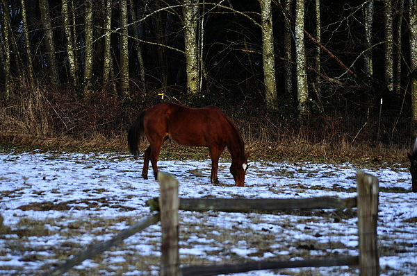 Grazing In A Washington Winter Print by Clayton Bruster
