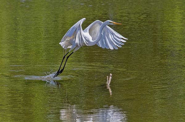 Michael Matney - Great Egret