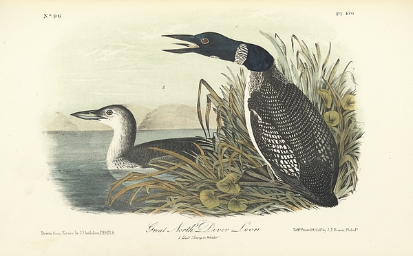 Great North Diver Loon Print by John James Audubon