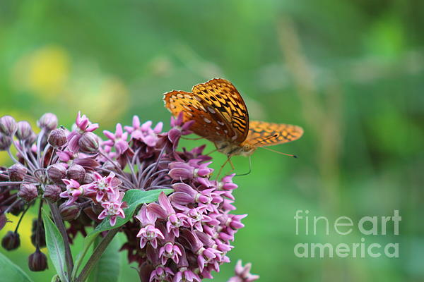 Neal  Eslinger - Great Spangled Fritillary Butterfly in July