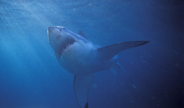 Great White Shark With Light Rays Print by James Forte