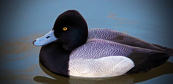 Cynthia Guinn - Greater Scaup