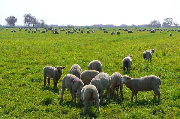 Sharon Mendoza - Green meadow lamb