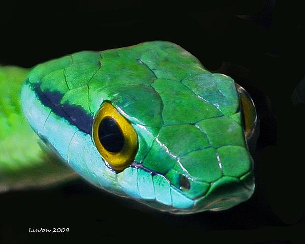 Green Parrot Snake Print by Larry Linton