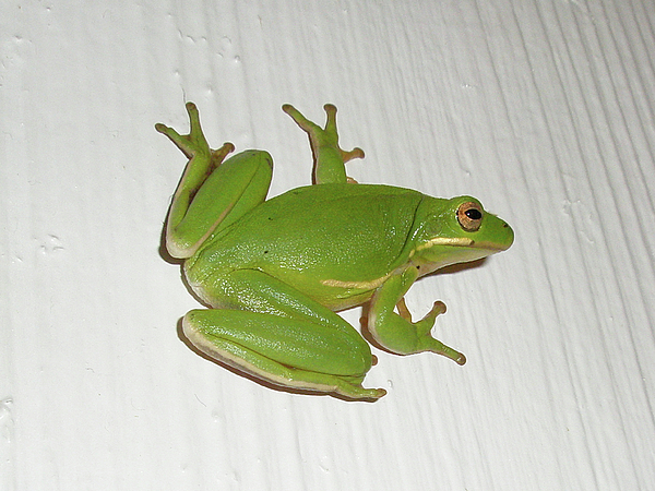 Green Tree Frog - Hyla Cinerea Print by Mother Nature