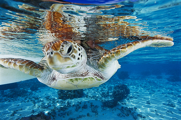 Green Turtle Print by Alexis Rosenfeld