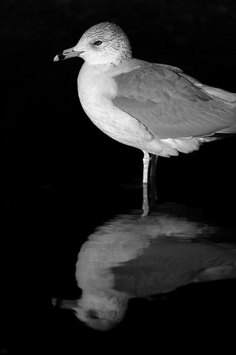 Gull Reflect Print by Karol  Livote