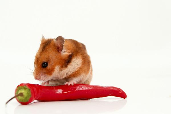 Hamster Eating A Red Hot Pepper Print by Yedidya yos mizrachi