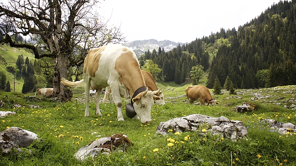 Colleen Williams - Happy Cows in High Pastures