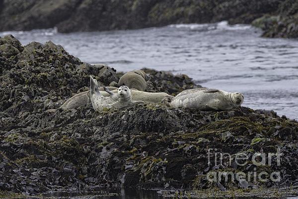 Harbor Seals Awake Print by Tim Moore