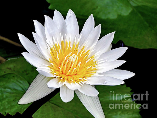 Hawaiian White Water Lily Print by Sue Melvin