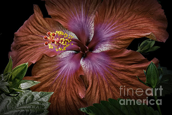 Walt Foegelle - Hibiscus Beauty