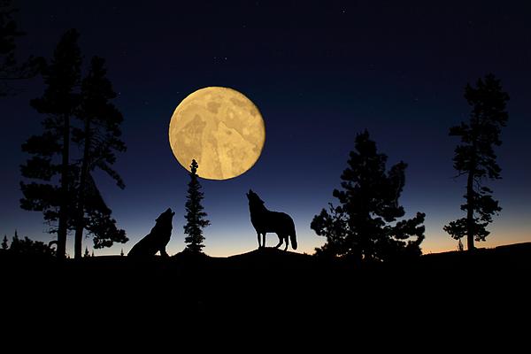 Hidden Wolves Print by Shane Bechler