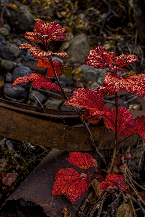 Highbush Cranberry Leaves by Fred Denner