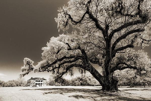 Historic Drayton Hall In Charleston South Carolina Live Oak Tree Print by Dustin K Ryan