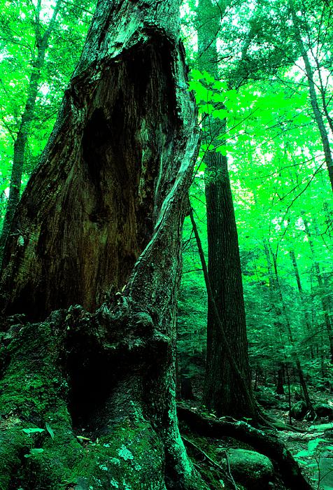 Hollow Maple Tree Print by Thomas R Fletcher