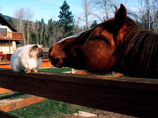 Horse And Cat Nuzzle Print by Thomas R Fletcher