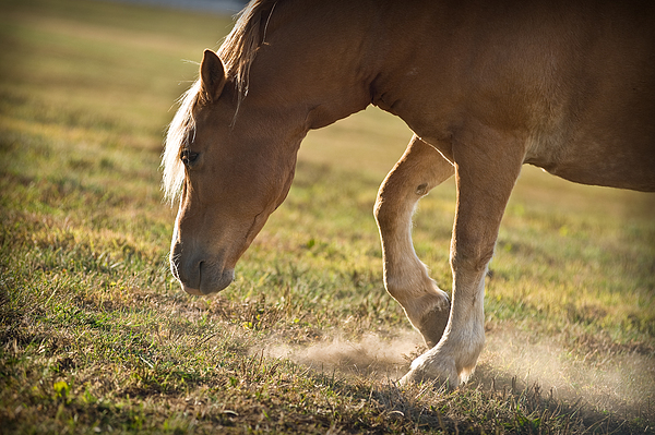 Horse Pawing In Pasture Print by Steve Gadomski