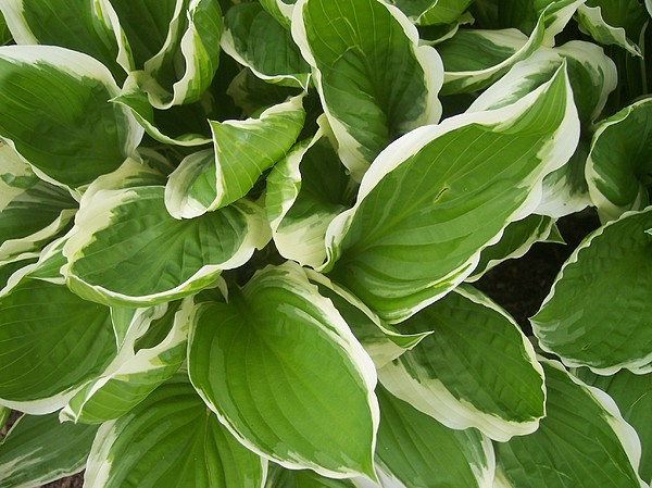 Hostas 1 Print by Anna Villarreal Garbis