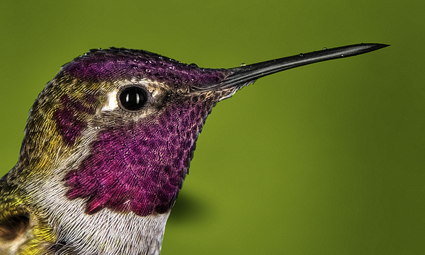 Hummingbird Head Shot With Raindrops Print by William Lee