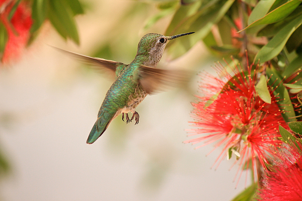 Hummingbird In Paradise Print by Penny Meyers