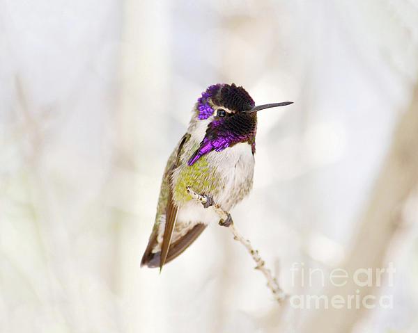 Hummingbird Print by Rebecca Margraf