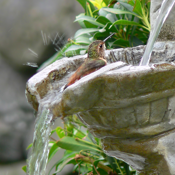 Hummingbirds Do Take Baths Print by Jennie Marie Schell
