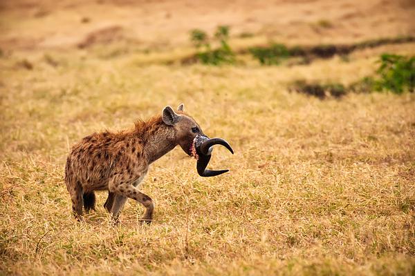 Hungry Hyena Print by Adam Romanowicz