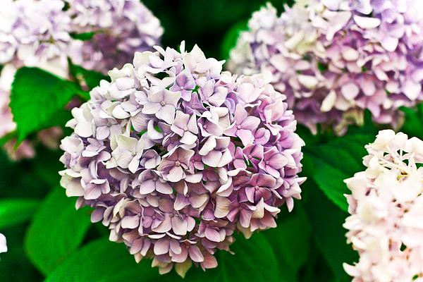 Hydrangea Purple Print by Ryan Kelly