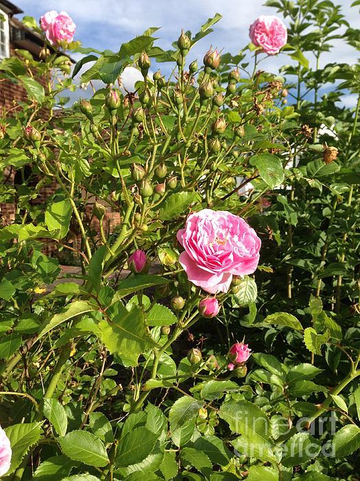 I Never Promised You A Rose Garden By Sharmila Bakshi