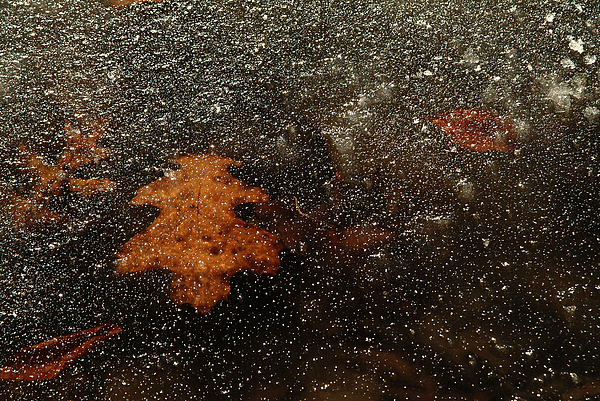 Icy Leaf Print by Michael McGowan