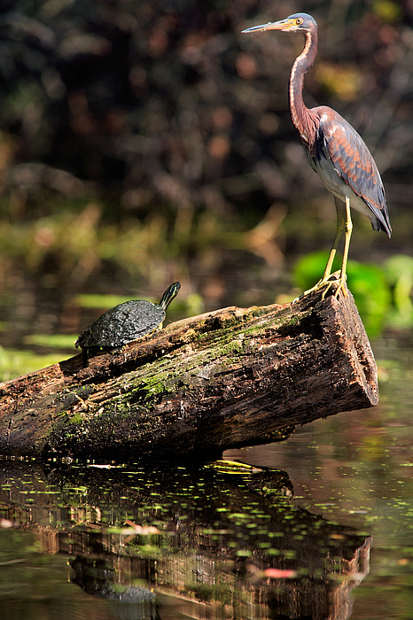 Immature Tri-colored Heron And Peninsula Cooter Turtle Print by Matt Suess