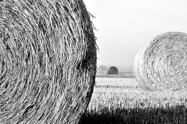 Dana Walton - In the Hay -black and white