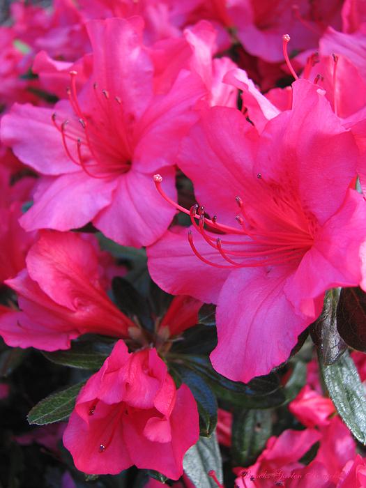 Brooks Garten Hauschild - In the Pink