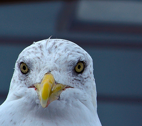 In Your Face Gull By Richard Ortolano