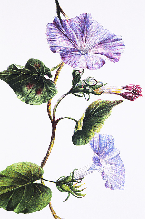 Isabella Sinclair - Pohue Print by Hawaiian Legacy Archive - Printscapes