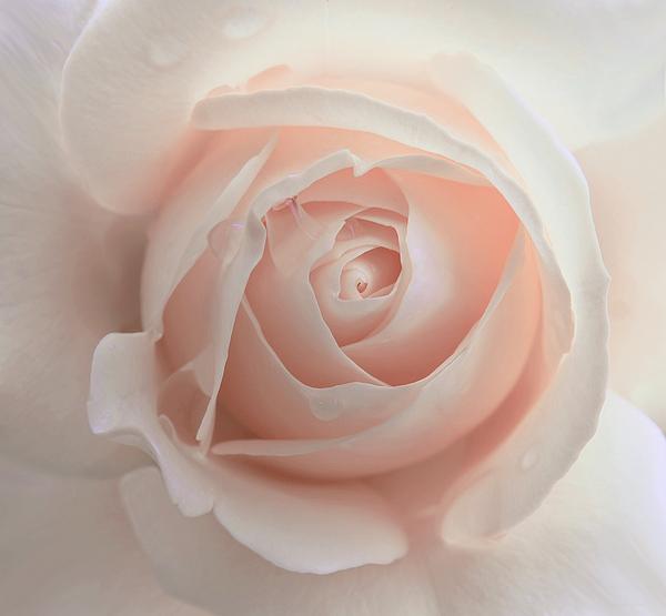Ivory Peach Pastel Rose Flower Print by Jennie Marie Schell