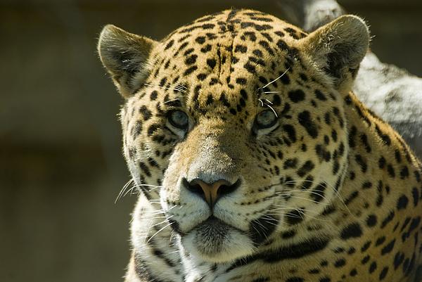 Jaguar Print by Mary Lane