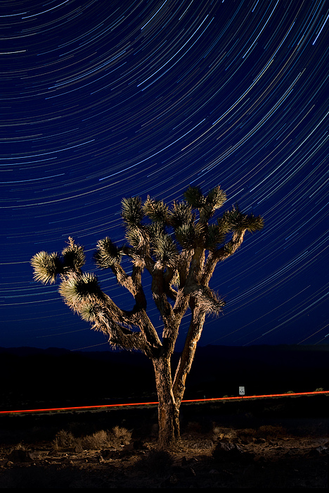 Joshua Tree And Star Trails Print by Steve Gadomski